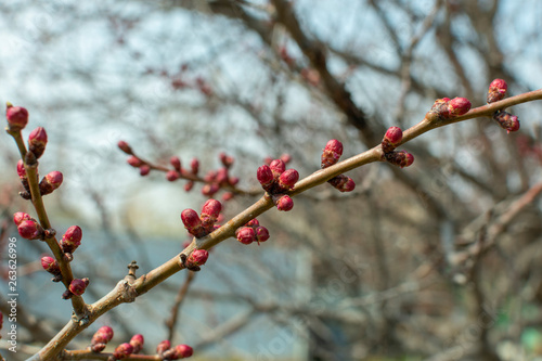 Fotografie, Obraz swollen buds on tree branches in the garden in spring