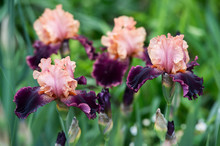 Colorful Irises In The Garden, Perennial Garden. Gardening. Bearded Iris.