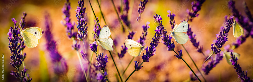 Fototapety, obrazy: white butterfly on lavender flowers macro photo