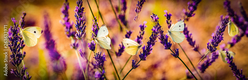 Poster Vlinder white butterfly on lavender flowers macro photo