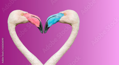 Foto op Aluminium Flamingo Couple of Rosy Chilean flamingos with different beaks in color, making loving heart at smooth gradient background