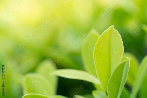 Fototapety, obrazy: Closeup nature view of green leaf in garden at summer under sunlight. Natural green plants landscape using as a background or wallpaper.