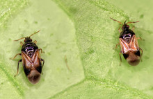 Minute Pirate Bug, Orius Laevigatus (Hemiptera: Anthocoridae)