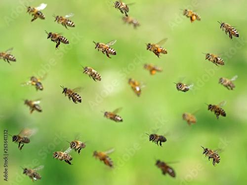 Fototapeta macro shot of flying bee swarm after collecting pollen in spring on green bokeh