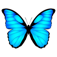 Blue Butterfly. Vector Illustration Of Exotic Butterfly Isolated On White Background. Morpho Menelaus