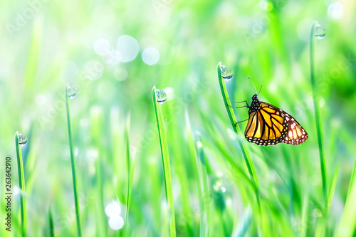 Poster de jardin Nature Beautiful orange butterfly on the green tender grass with dew drops. Summer fresh background. Free copy space.