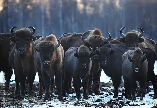 Fényképezés  Aurochs bison in nature / winter season, bison in a snowy field, a large bull bu