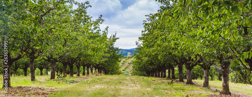 Foto Organic red and sweet Ripening cherries on cherry trees in orchard in early summ