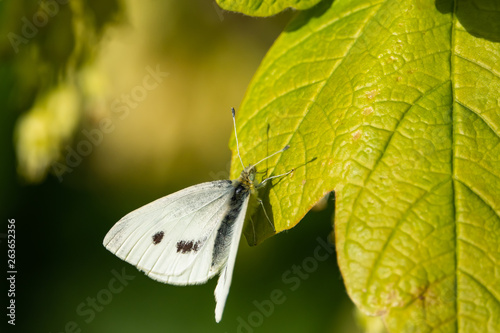 Cabbage White Butterfly on Leaf in Springtime