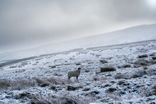 Sheep In Snow On The Moors. Yorkshire