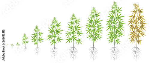 Fototapeta The Growth Cycle of hemp plant. Marijuana phases set. Cannabis sativa ripening period. The life stages. Weed Growing. Isolated vector illustration on white background. obraz