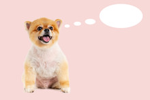 Closeup Portrait Pomeranian Dog Smiling With Funny Face On Pastel Pink Background. Studio Shot Of Small Brown Puppy With Thinking Ovals.
