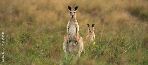 Foto op Canvas Kangoeroe Kangaroos in the countryside