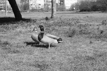 Two Ducks In A Park