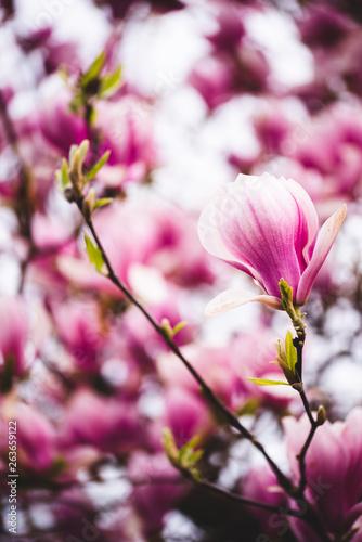 Fototapeta Pink flowers magnolia on a tree branches obraz na płótnie