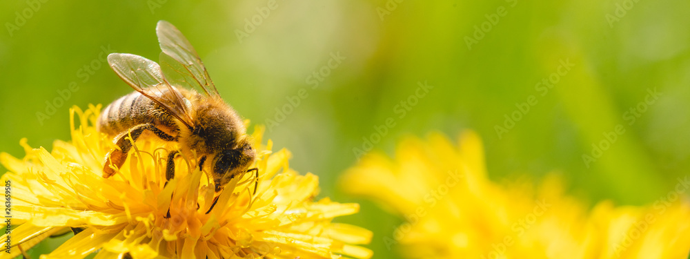 Fototapety, obrazy: Honey bee covered with yellow pollen collecting nectar from dandelion flower.