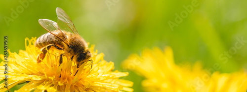 Spoed Foto op Canvas Bee Honey bee covered with yellow pollen collecting nectar from dandelion flower.