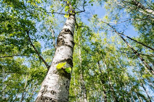 Leinwand Poster Grüner Birkenwald im Frühling