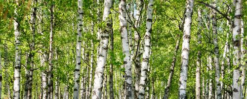 Fototapeta Grüner Wald mit Birken als Panorama Hintergrund obraz