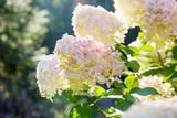 Blooming shrub white paniculata hydrangea (Hydrangea paniculata) in summer garden. Close-up of hydrangea flower.