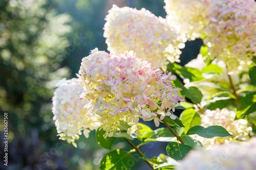 Fototapeta Blooming shrub white paniculata hydrangea (Hydrangea paniculata) in summer garden