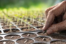 Farmer's Hand Planting Seeds In Soil In Nursery Tray