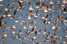 A Flock Of Black-headed Gulls, Chroicocephalus Ridibundus Flying With The Blue Sky - Birds In Flight