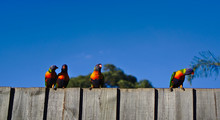 Three Parakeets On Wooden Fence