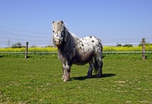 Deutsches Shetland Pony