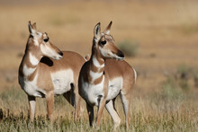 Pronghorn Antelope In Yellowst...