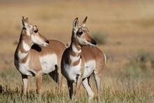 Pronghorn Antelope In Yellowstone National Park, Wyoming