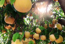 Grapefruits On The Tree. Ripe Fruits Growing On The Plantation