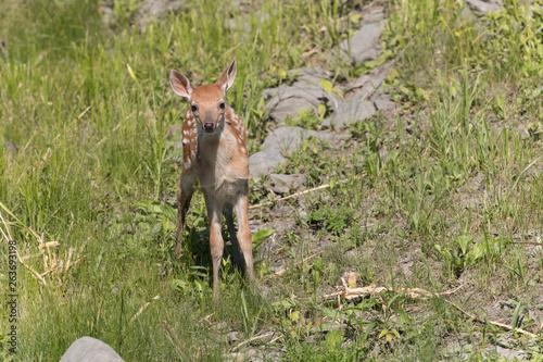 Fotografie, Obraz Cute White tailed deer fawn paling in meadow