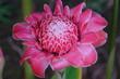 Leinwanddruck Bild - Ingwerblume