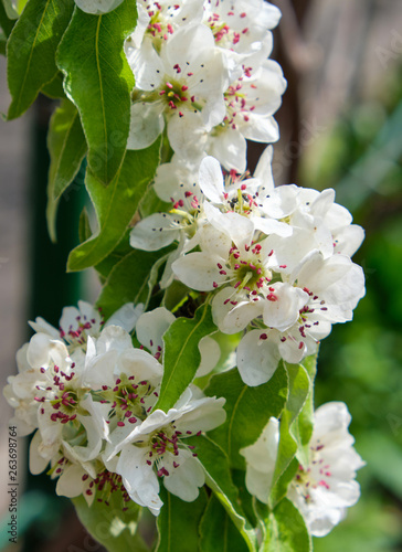 Foto  branch with white blooming pear flowers, full frame