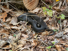 Coiled Blacksnake Warming On A Chilly April Afternoon