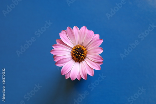 Poster Fleur Margherita africana rosa, Osteospermum
