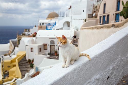 Foto auf AluDibond Santorini Red cat on a background of the sea