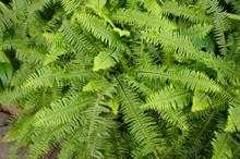 Green Shrub Nephrolepis Exaltata Sword Fern