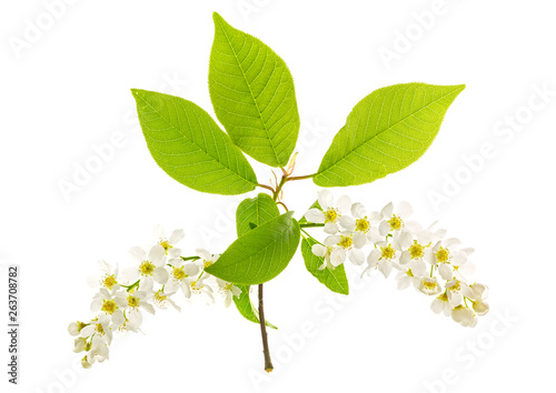 Branch With Flowers Bird Cherry Tree Prunus Padus Isolated