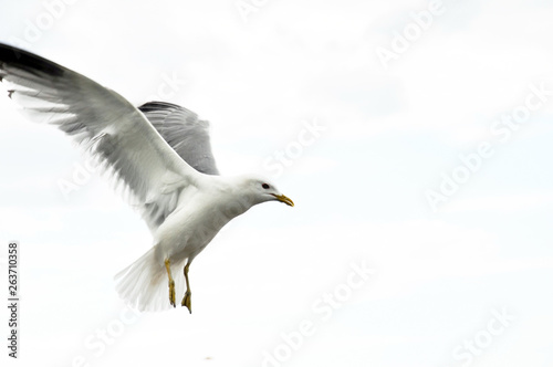 Photo Flying seagull in the white background