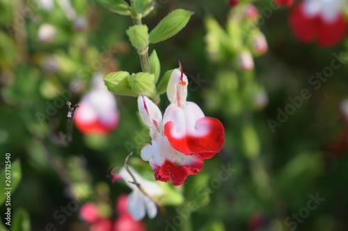 Subtile fleur de sauge rouge et blanche Wallpaper Mural