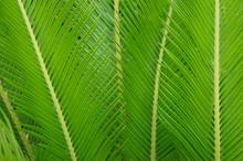 Cycas Revoluta Sago Palm Background