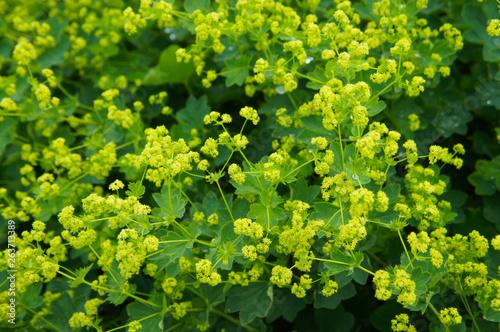 Obraz na płótnie Alchemilla mollis garden lady's-mantle plant with yellow flowers