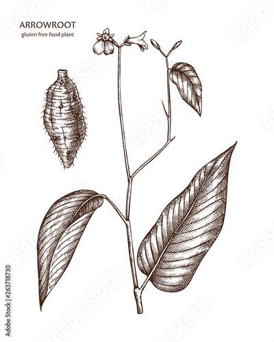 Hand drawn Arrowroot illustration Canvas Print