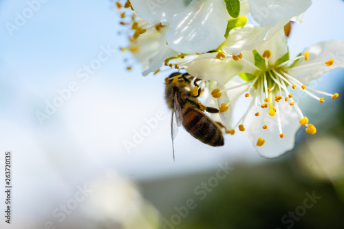 Foto auf AluDibond Bienen Close up detail shot of bee collecting pollen from fresh white blossoming flowers, spring, save the enviroment and endangered species concept, handheld 1080p Full HD shot