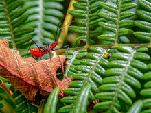 Macro Photography Of A Milkweed Assassin Bug Walking On A Dry Leaf Over A Very Green Leaves Of An Eagle Fern. Captured At The Andean Mountains Of Central Colombia.