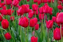 Red Spring Tulip Flower