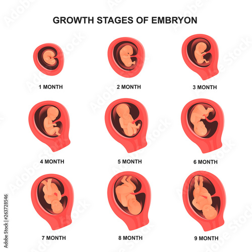 Fotografia, Obraz  Embryo growth stage set with names, medical poster