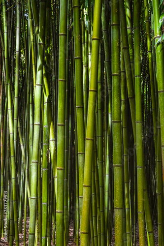 Bamboo forest. No people - 263729913